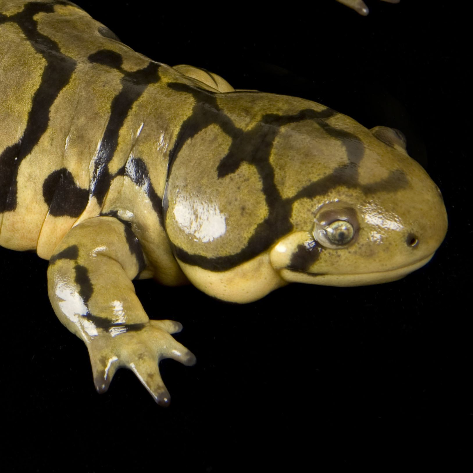 Salamanders are amazing Tiger-10