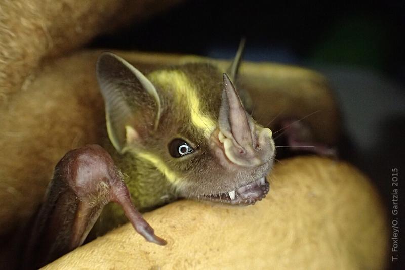 Spectacular bats Uro-bi10