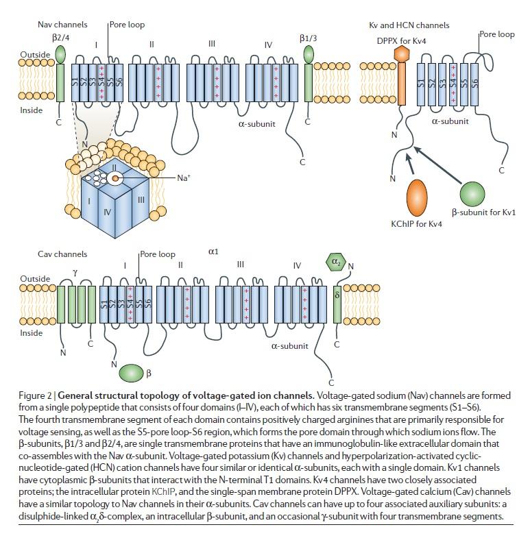 The Human Nervous System: Evidence of Intelligent Design  Voltag10