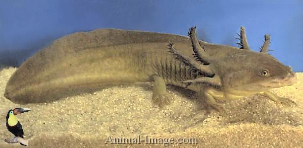Salamanders are amazing Waterd10