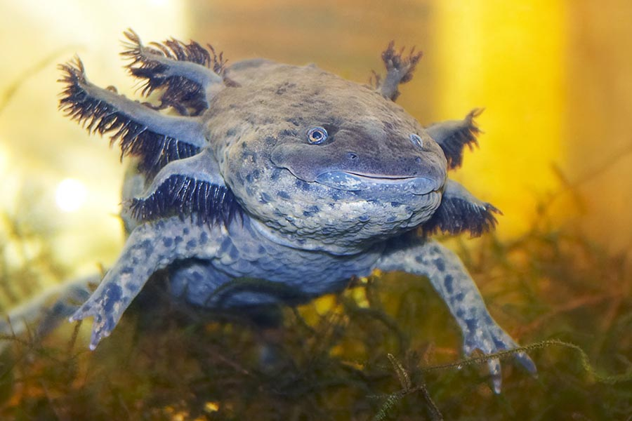 Salamanders are amazing Waterd11