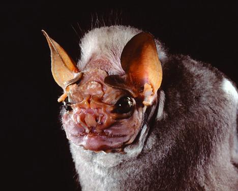 Spectacular bats Wrinkl10