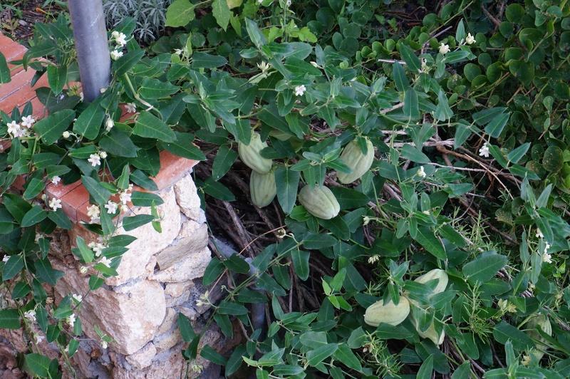 Seidenpflanzengewächse (Asclepiadoideae) - Seite 2 Klette11