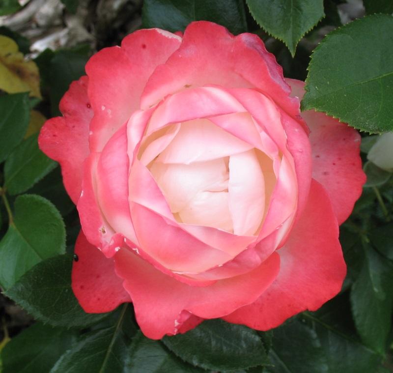 """Rosen - ein Thread für die """"Königin"""" - Seite 10 Rose_n10"""