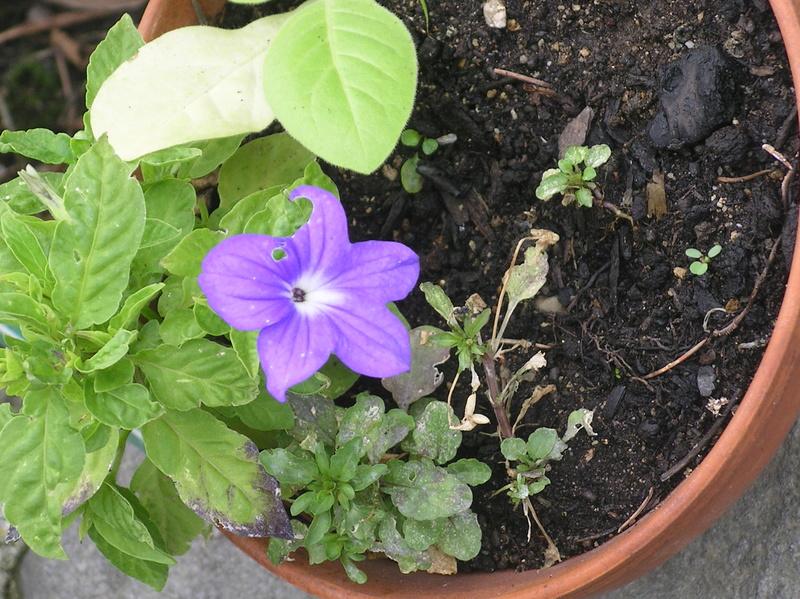 petite fleur bleue?  Browallia Imgp0065
