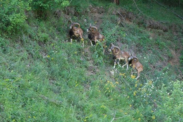 Recherche des mouflons 14411