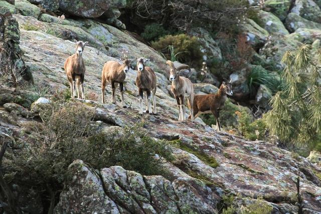 Recherche des mouflons C410