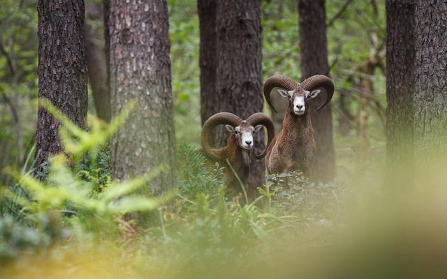 Recherche des mouflons C610