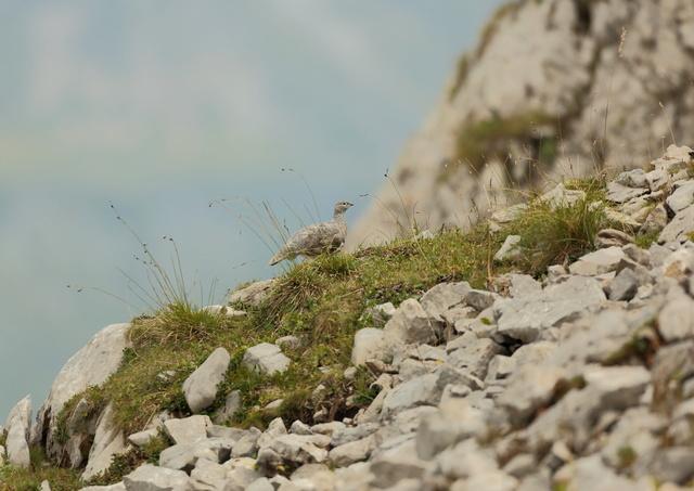 Brame du cerf en montagne.... Lagope10