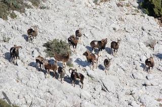 Animaux de nos montagnes...(avant la chasse) Mouflo10