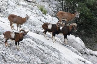 Animaux de nos montagnes...(avant la chasse) Mouflo11