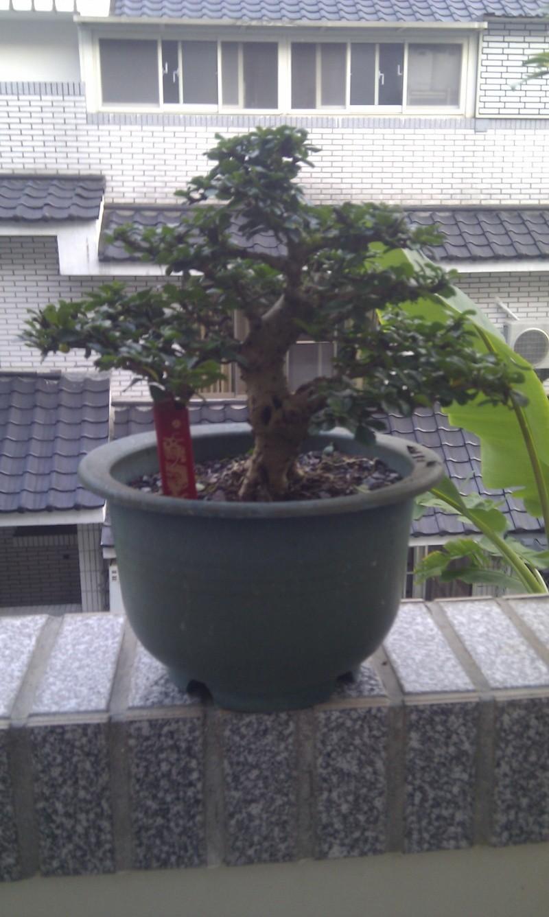 My Shohin Fukien Tea Imag0710