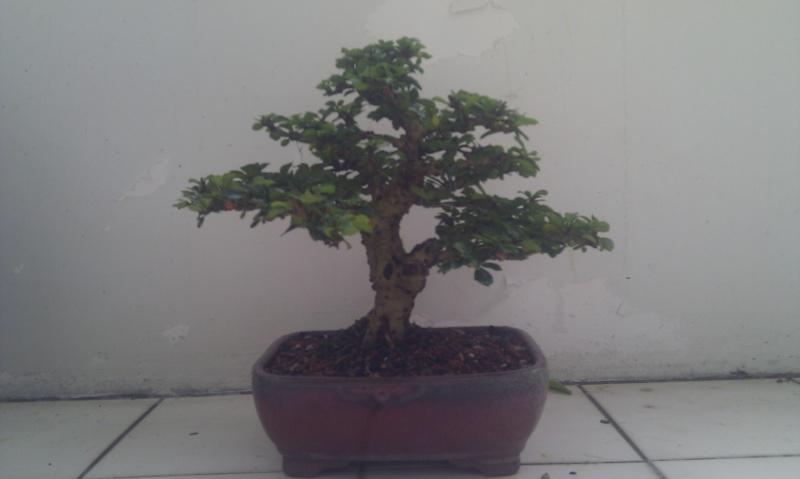 My Shohin Fukien Tea Imag0711