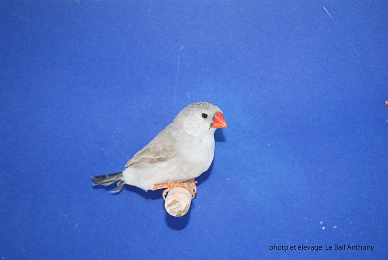 Mâle gris BF PN X femelle grise PN Femell13