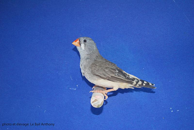 Mâle gris BF PN X femelle grise PN Femell14