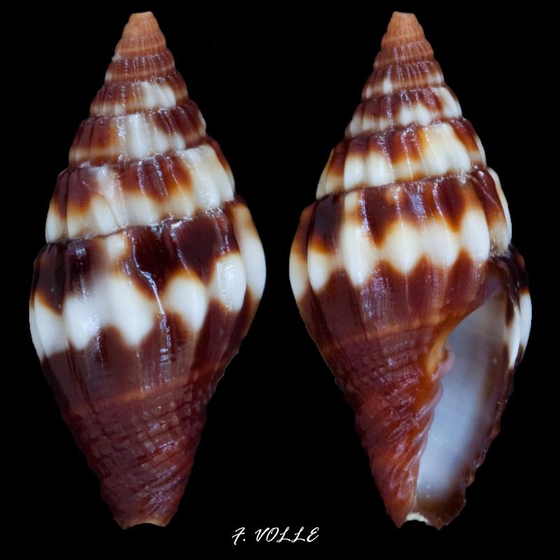 Vexillum geronimae - Poppe, Tagaro & Salisbury, 2009 13_9mm10