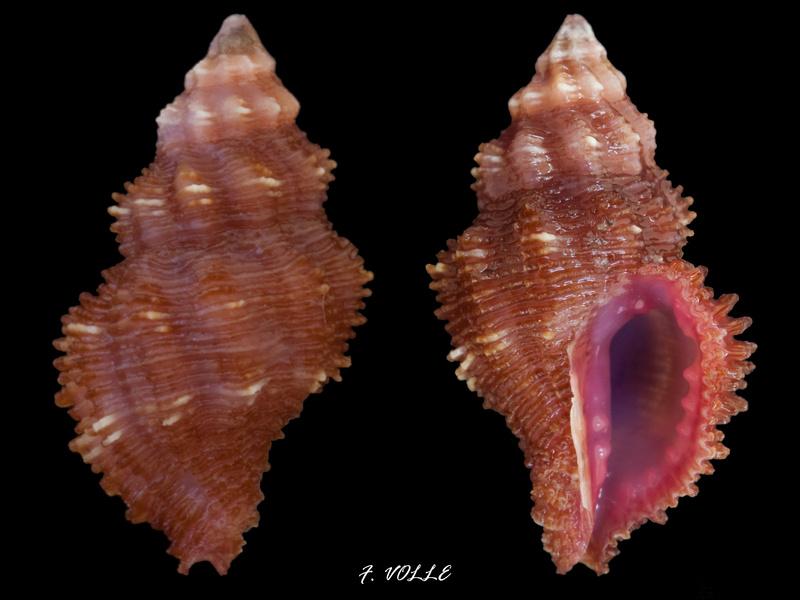 Morula porphyrostoma - (Reeve, 1846) 14_7mm10