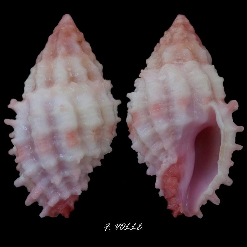 Morula ambrosia - (Houart, 1995) 15_2mm10