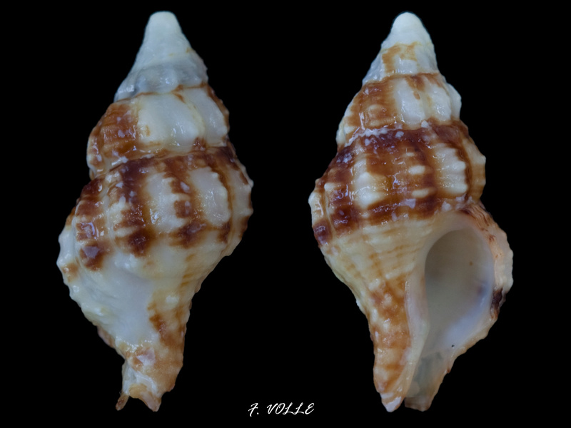 Latirus maculatus - (Reeve, 1847) 16_3mm10