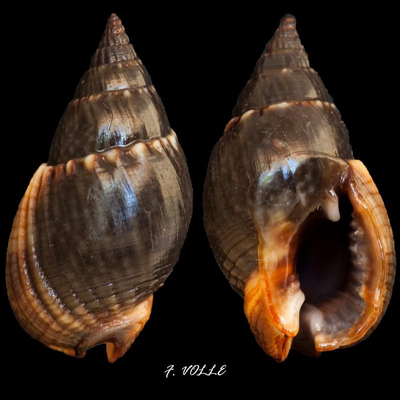 Nassarius reeveanus - (Dunker, 1847) 16_5mm10