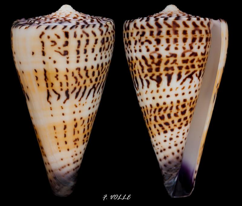Conidae Conus (Elisaconus) moncuri  Filmer,2005 voir Conus (Embrikena) moncuri Filmer, 2005 Elisac10