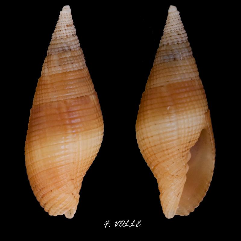 Nebularia pellisserpentis - (Reeve, 1844)  Mitra_10