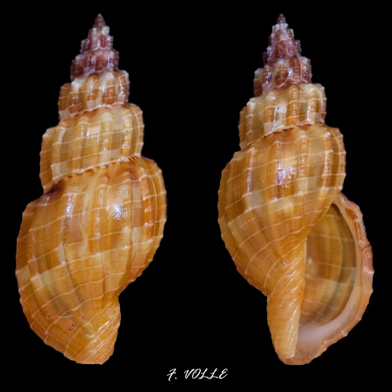 Tritonoturris cumingii - (Powys, 1835) Triton10