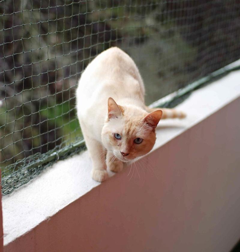 harlan - HARLAN, chat européen red point, yeux bleux, né en 2012 Harlan12
