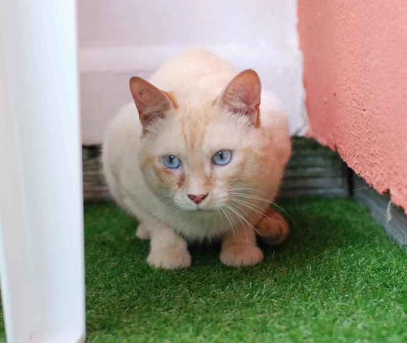 harlan - HARLAN, chat européen red point, yeux bleux, né en 2012 Harlan13