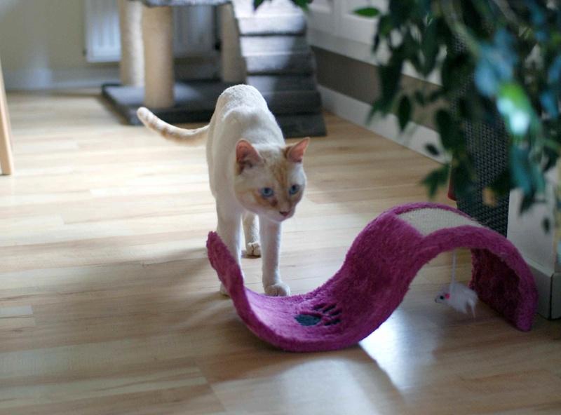harlan - HARLAN, chat européen red point, yeux bleux, né en 2012 Harlan16