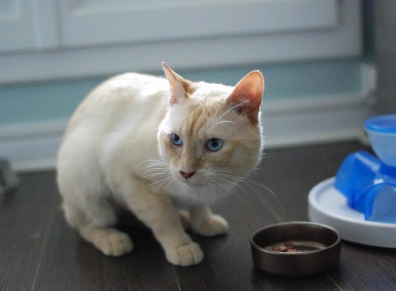 harlan - HARLAN, chat européen red point, yeux bleux, né en 2012 Harlan17