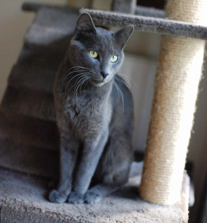 HARRIS, chat européen de type chartreux, né en 2014 Harris12