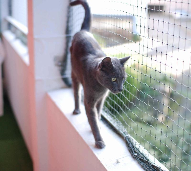 HARRIS, chat européen de type chartreux, né en 2014 Harris13