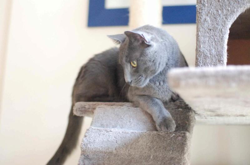 HARRIS, chat européen de type chartreux, né en 2014 Harris14
