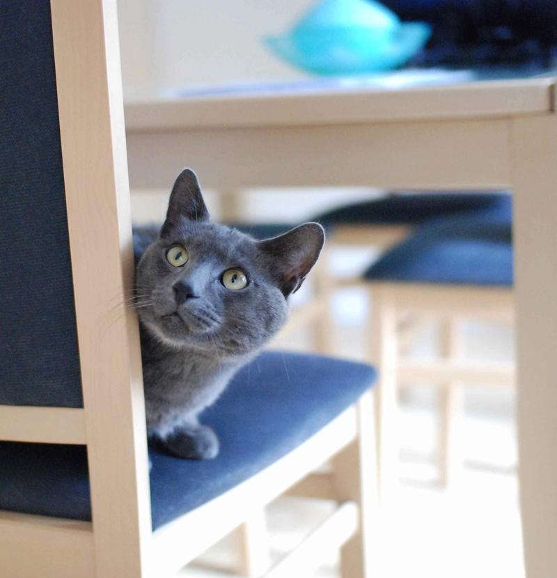 HARRIS, chat européen de type chartreux, né en 2014 Harris15