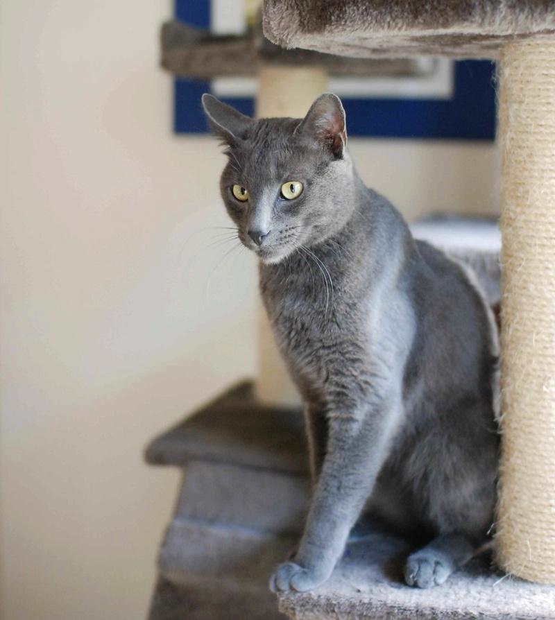 HARRIS, chat européen de type chartreux, né en 2014 Harris16