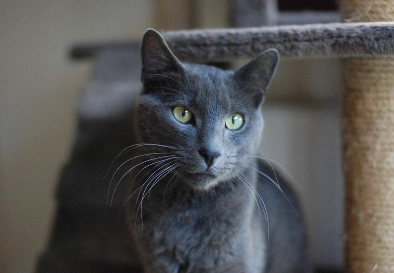 HARRIS, chat européen de type chartreux, né en 2014 Harris17