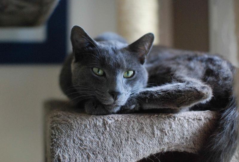 HARRIS, chat européen de type chartreux, né en 2014 Harris18