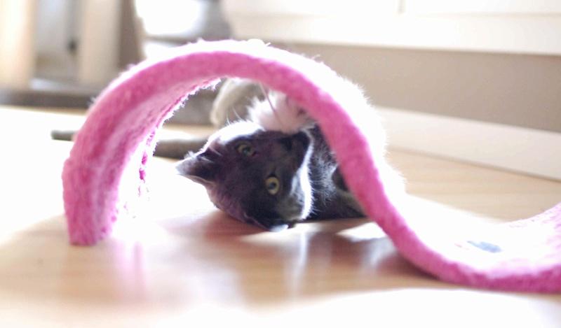 HARRIS, chat européen de type chartreux, né en 2014 Harris19