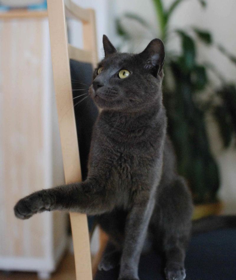 HARRIS, chat européen de type chartreux, né en 2014 Harris21