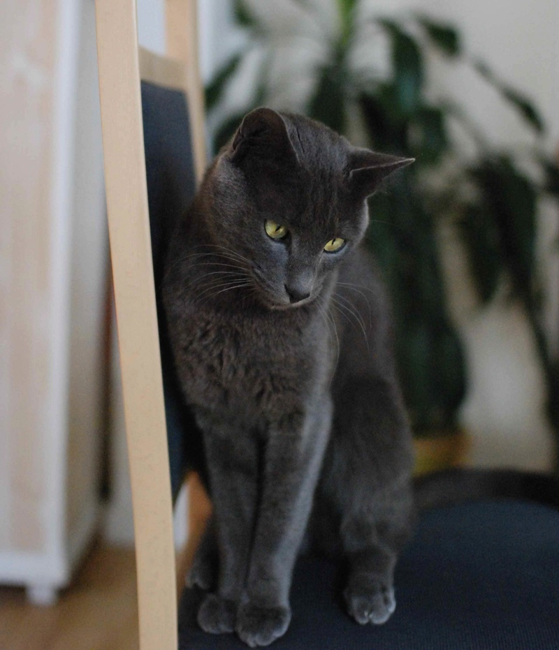 HARRIS, chat européen de type chartreux, né en 2014 Harris22