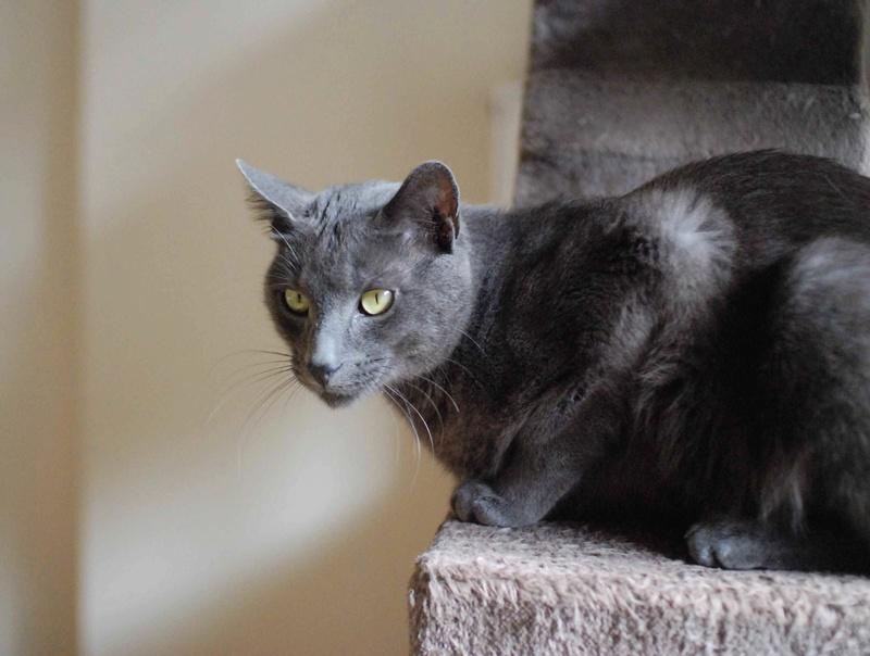 HARRIS, chat européen de type chartreux, né en 2014 Harris24