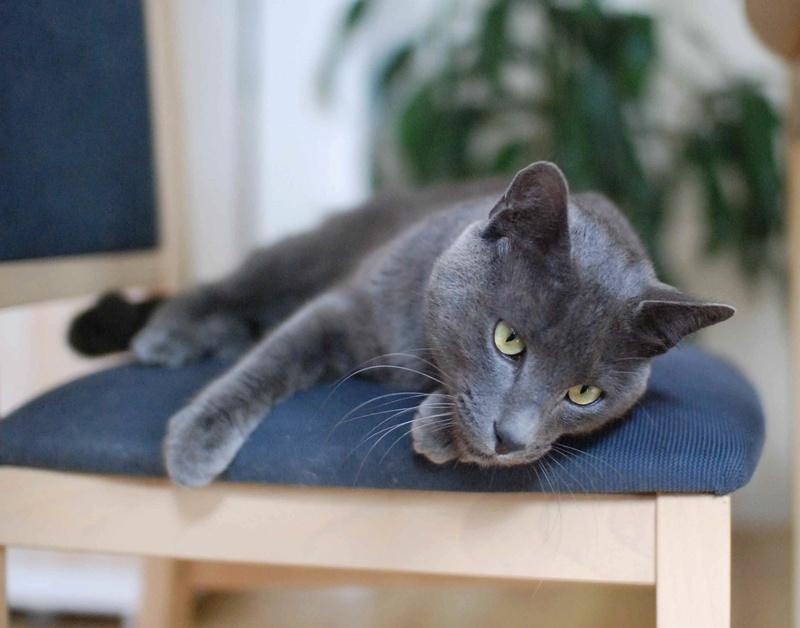 HARRIS, chat européen de type chartreux, né en 2014 Harris25