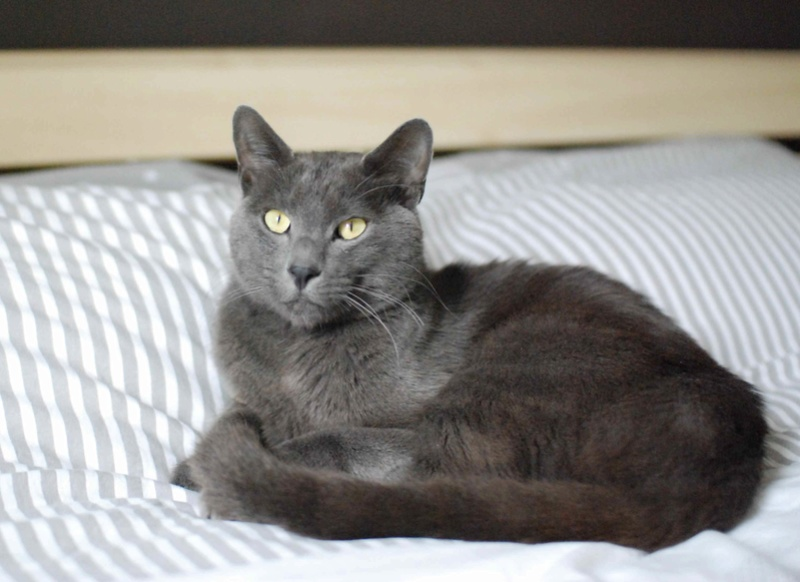 HARRIS, chat européen de type chartreux, né en 2014 Harris26