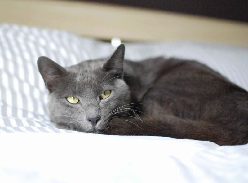 HARRIS, chat européen de type chartreux, né en 2014 Harris27
