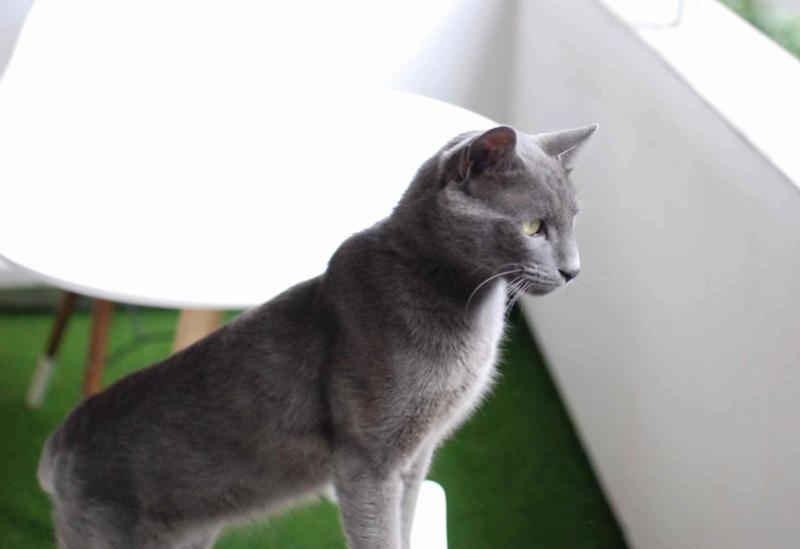 HARRIS, chat européen de type chartreux, né en 2014 Harris28