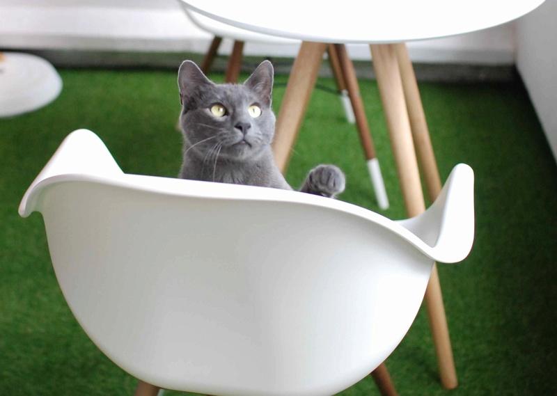 HARRIS, chat européen de type chartreux, né en 2014 Harris29