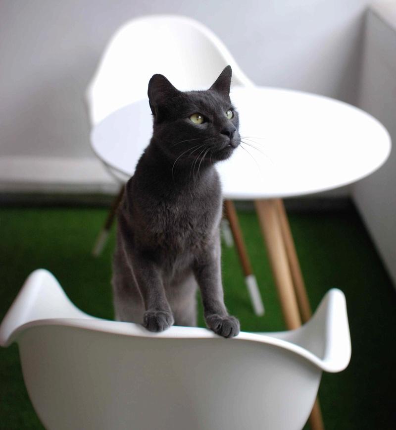HARRIS, chat européen de type chartreux, né en 2014 Harris30