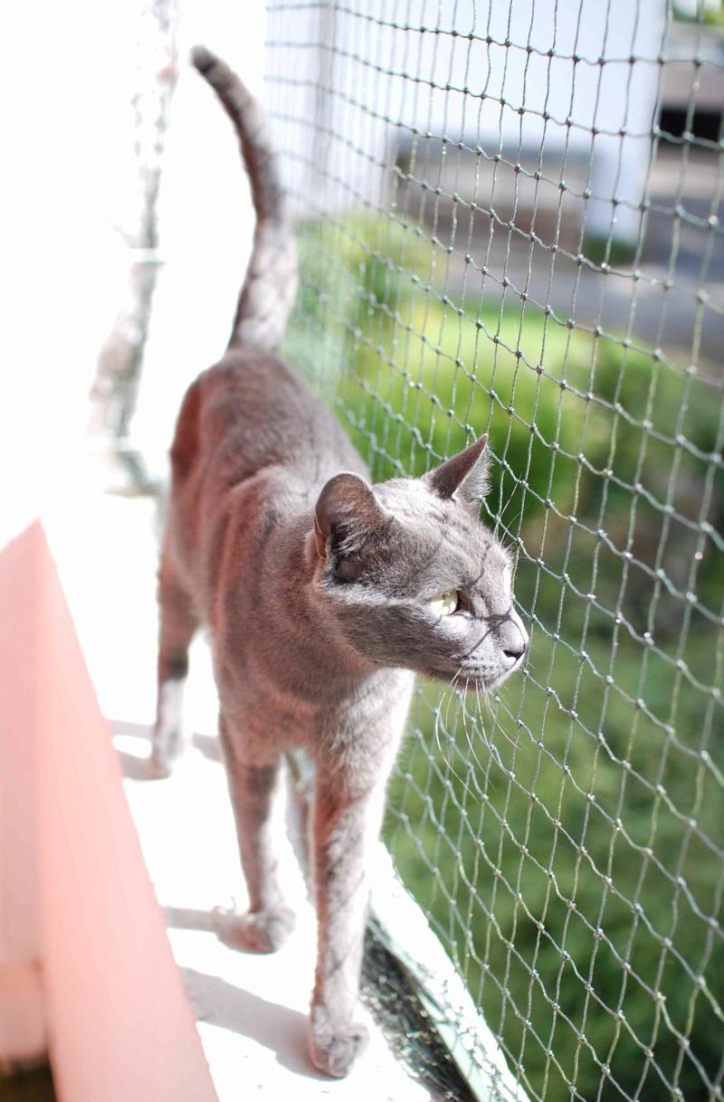 HARRIS, chat européen de type chartreux, né en 2014 Harris31
