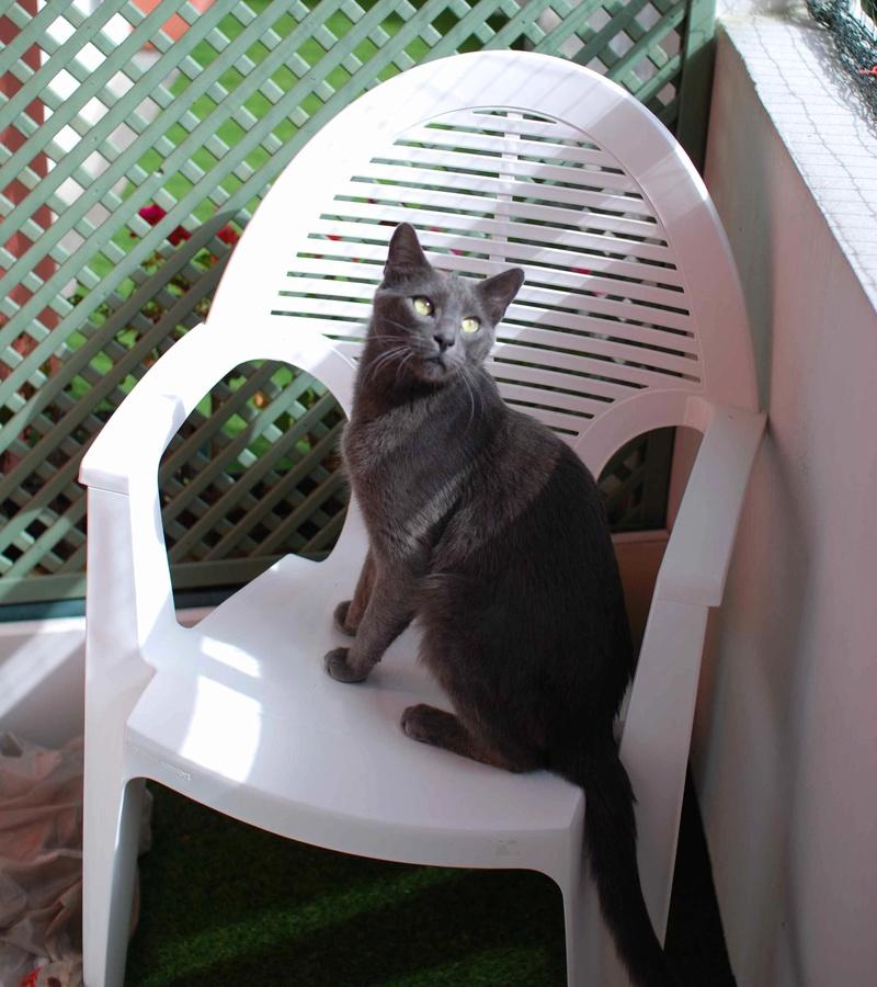 HARRIS, chat européen de type chartreux, né en 2014 Harris32